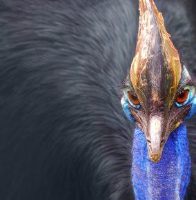 Meet the Cassowary: A Modern-Day Dinosaur
