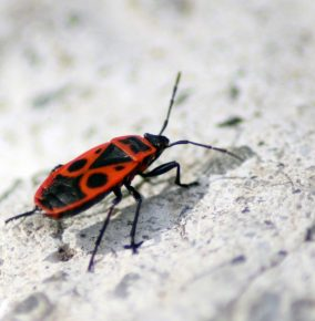 Finding My First European Firebug in Poland